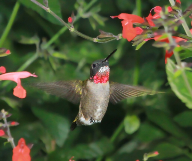 Ruby-throated Hummingbird ... By far the most difficult bird for me to photograph well.