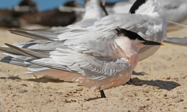 Sandwich Tern ... This guy is in FULL breeding plumage.  His feathers really are that pinkish color !!!