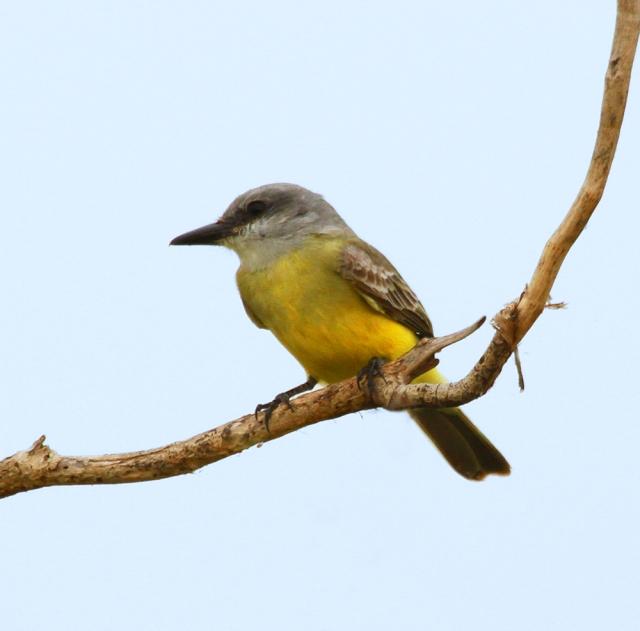 Tropical Kingbird ... Another look at this rare bird for Southern Florida.