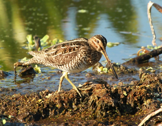Wilson's Snipe ... One of a large migrating group that has chosen GC for a stopover this year.