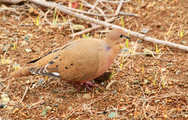Zenaida Dove ... This is one I would love to see in Florida!