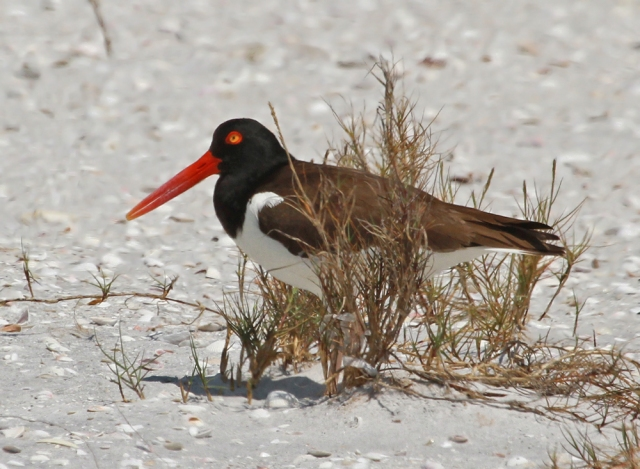 American Oystercatcher ... Always a nice bird to see, even when they are trying to hide from the camera!