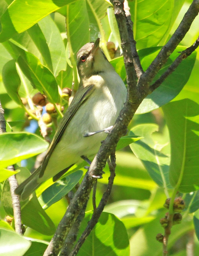 Black-whiskered Vireo ... The black lines on his chin right below the eye is the key field mark for this guy.