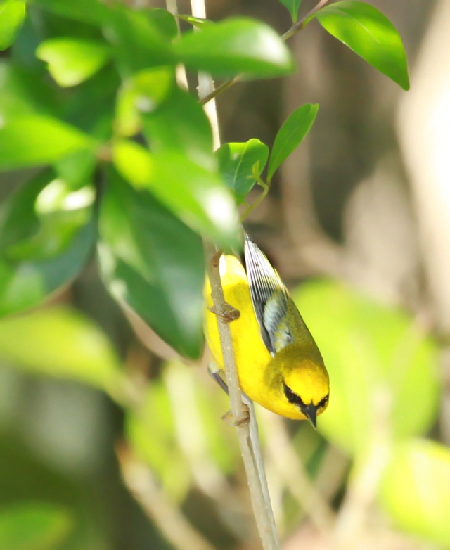 "Blue-winged Warbler ... This is one of the ""better"" Warblers and I was thrilled to see one and have him pose a little!"