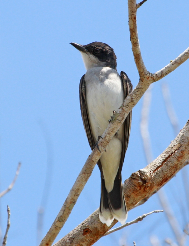 Eastern Kingbird ... This guy is in really sharp plumage.  Often we see these guys with most of the White worn off their tails.