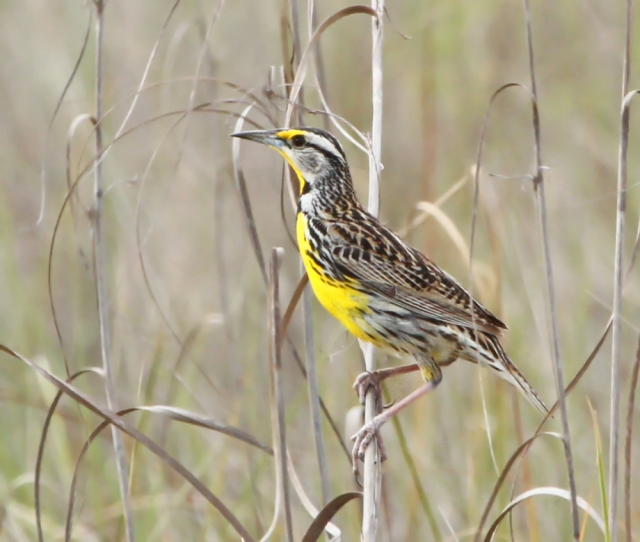 Eastern Meadowlark ... Singing his little heart out!