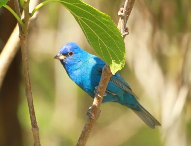 Indigo Bunting ... Birds of color are also big at Ft De Soto.