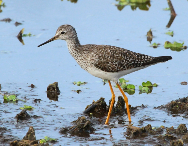 Lesser Yellowlegs ... The shorebirds at GC have been very cooperative this year.