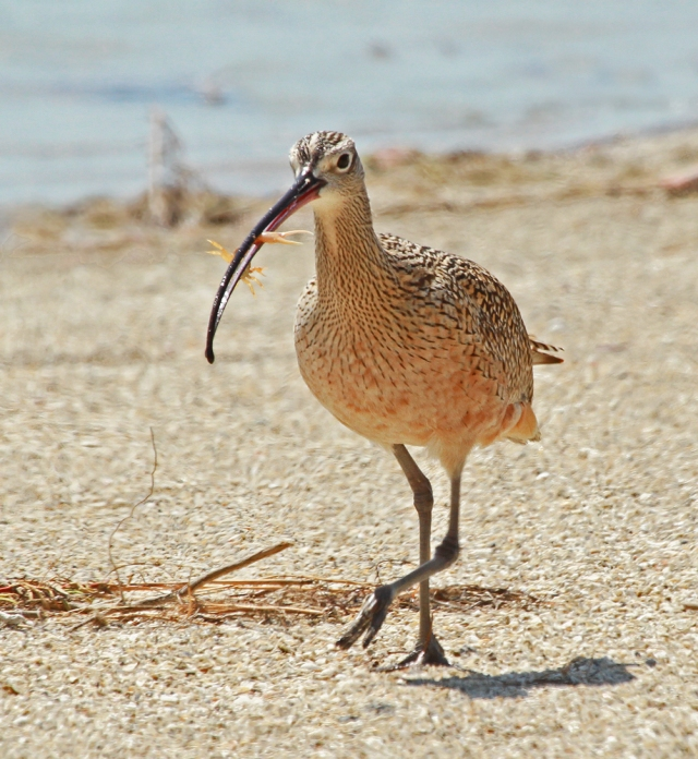 Long-billed Curlew ... This bird has been seen off and on, more on, for 3-4 years.  What a cool, cool species!!