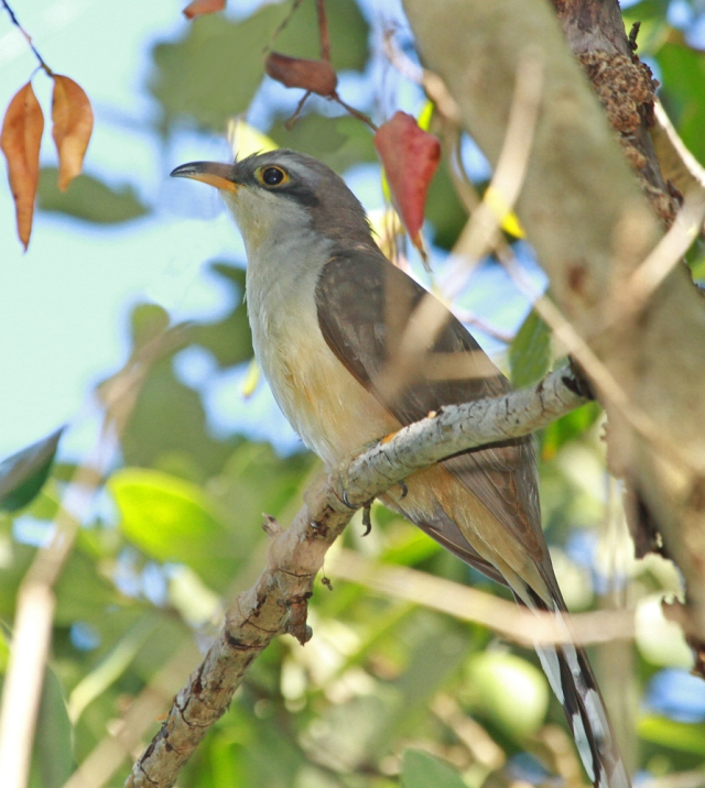 Mangrove Cuckoo ... This was a new bird for me and one that was not even on my wish list when I started the day!
