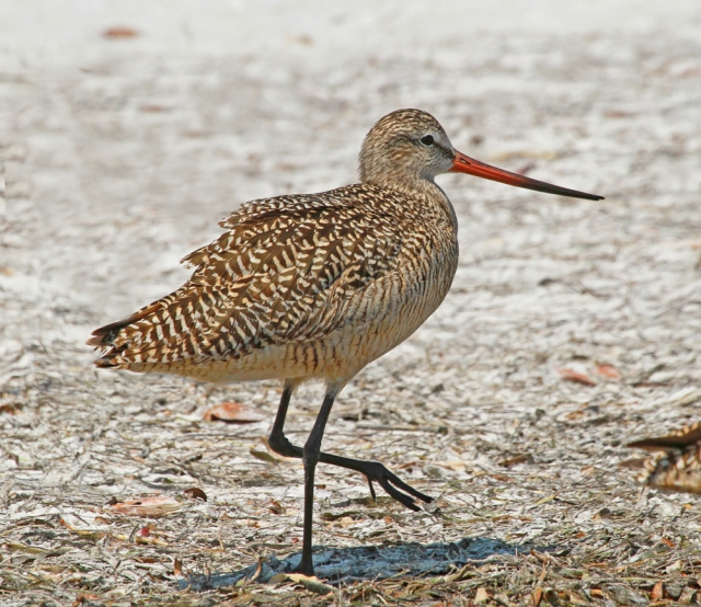 Marbled Godwit ... Another shorebird with and impressive bill!