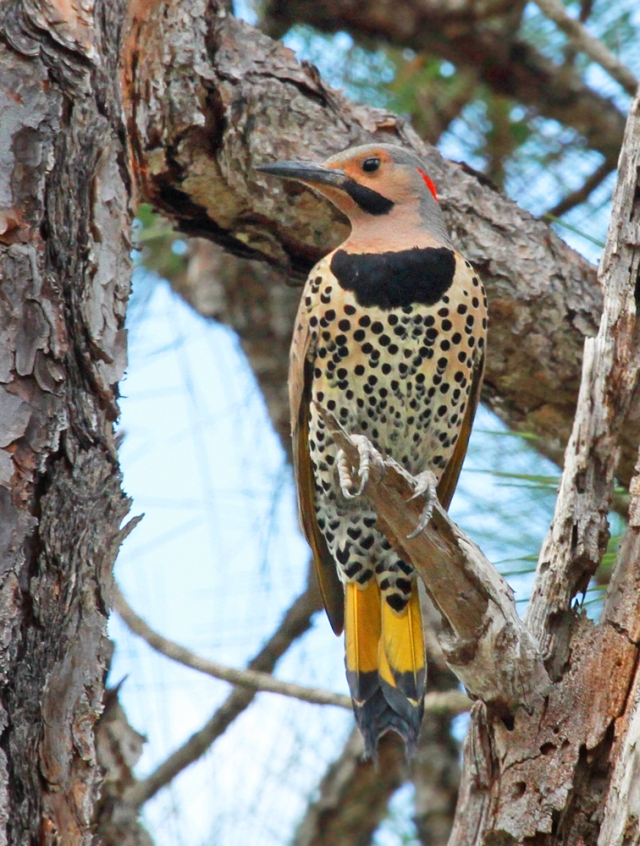 Northern Flicker ... God was having a really imaginative day when he made this guy!