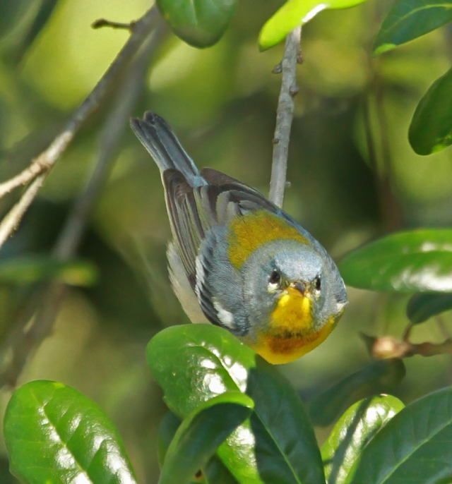 Northern Parula ... He was as interested in me as I was in him!