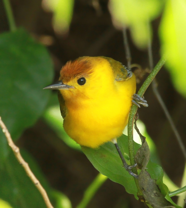 Prothonotary Warbler ... I used this shot to show off his unusual Orange head feathers.