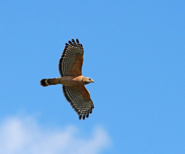 Red-shouldered Hawk ... Raptors were pretty thin on my list yesterday with no Coopers, Red-tails or Kites on my list (: