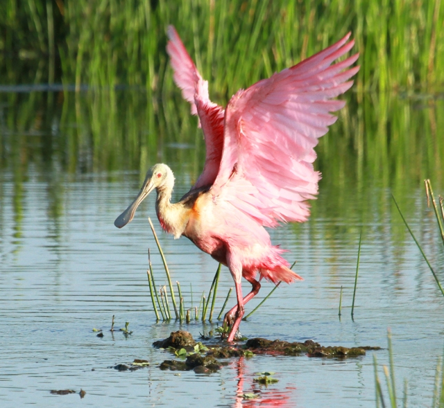 Roseate Spoonbill ... After bathing stretch!