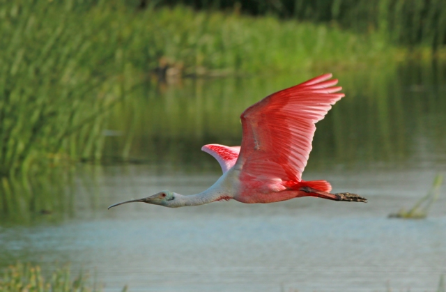 Roseate Spoonbill coming in for a bath!