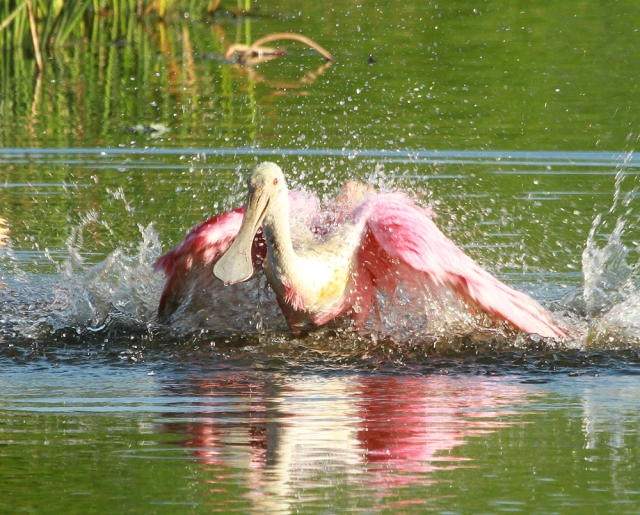 Roseate Spoonbill ... Making sure it is totaly drenched.