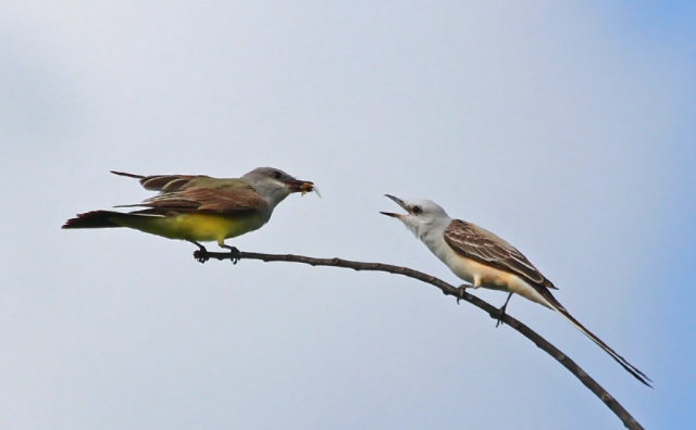 Scissortail Flycatcher and Western Kingbird ... I would have been happy to see just one of these guys but to get two in one frame ... priceless!
