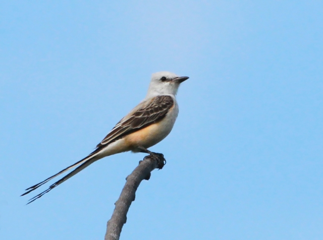 Scissortail Flycatcher ... An amazingly elegant species!