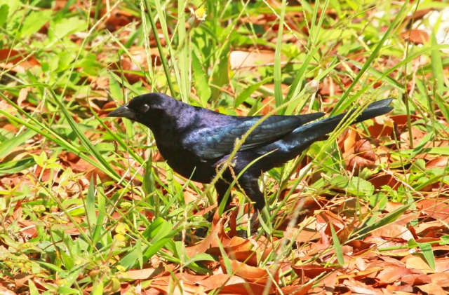Shiny Cowbird ... A species that matches its name!