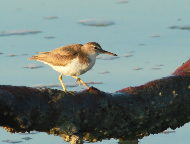 Spotted Sandpiper ... Saw these guys in multiple locations today.