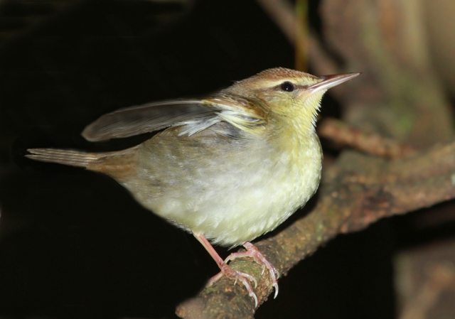 Swainson's Warbler .... This guy was about 10 inches off the ground and jumped when my flash went off.