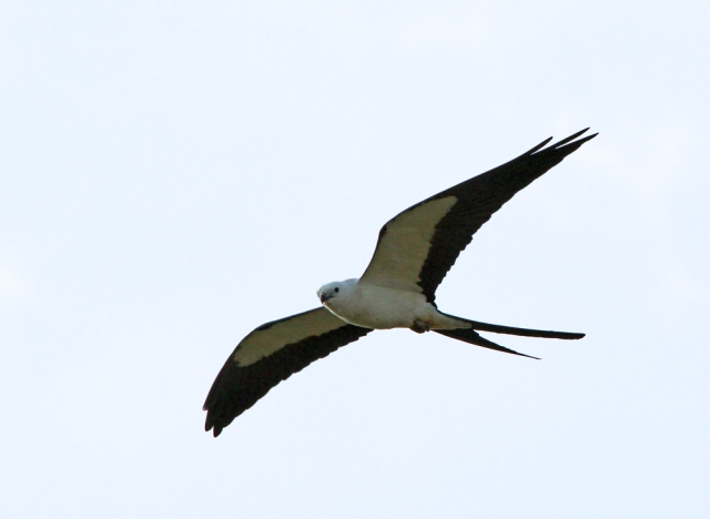Swallow-tailed Kite ... One of the coolest Raptors we have and again it is fairly range restricted to the the Southeast.