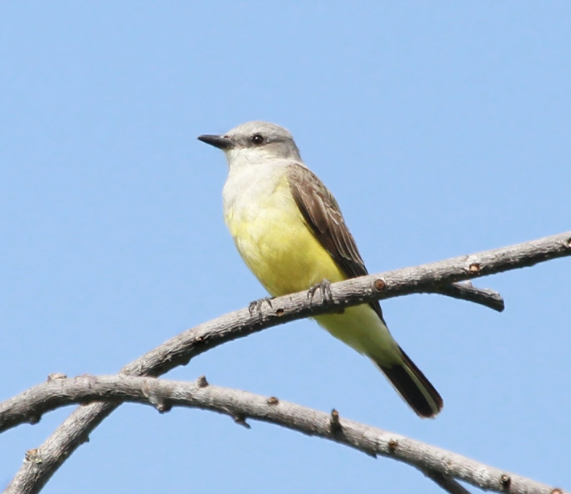Western Kingbird ... There were actually four of them around.