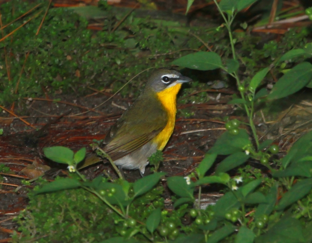 Yellow-breasted Chat ... I saw this guy the afternoon before and agin this morning ... where was he when I needed him !!!