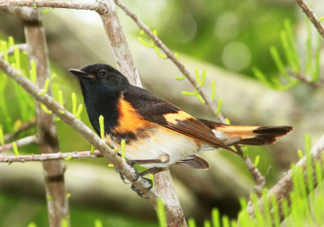 American Redstart ... I actually took this one the next day at Green Cay Wetlands but had a similar one from the Fort.