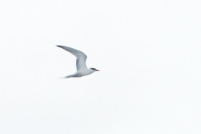 Arctic Tern ... The Arctic Tern travels somewhere near 25,000 miles each year during migration making it the number one long distant migrator!!!