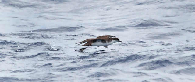 Audubon's Shearwater ... The ones we saw were activly feeding and spent time on the water looking for food.