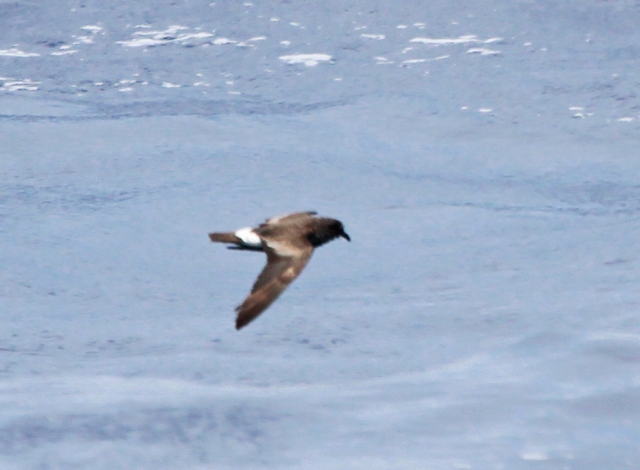 Band-rumped Storm-Petrel ... This pictures shows one of the best diagnostic features of this species.  The legs are short and don't pass the tail unlike a Wilson's which hang out quite a bit beyond their tails.