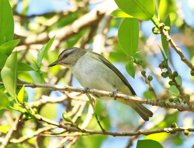 Black-whiskered Vireo ... This is an unusual species this far North!