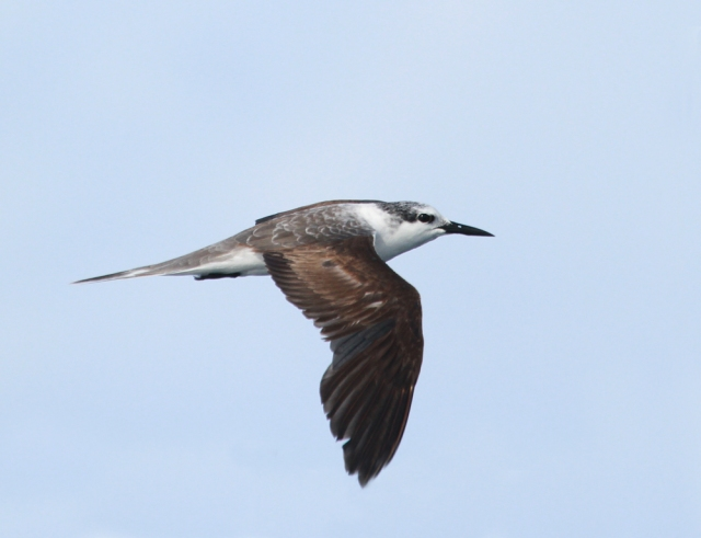 Bridled Tern ... This is a first year bird!