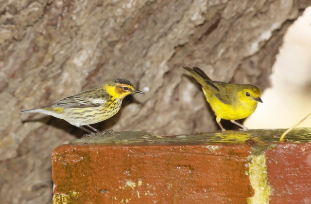 Cape May and Hooded Warblers