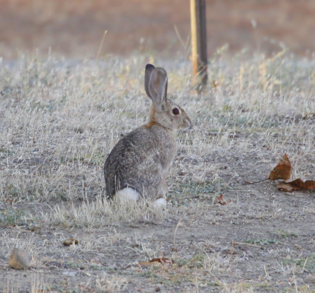 Jack Rabbit ... I ended the day with a lifer mammal and started the day with another!!