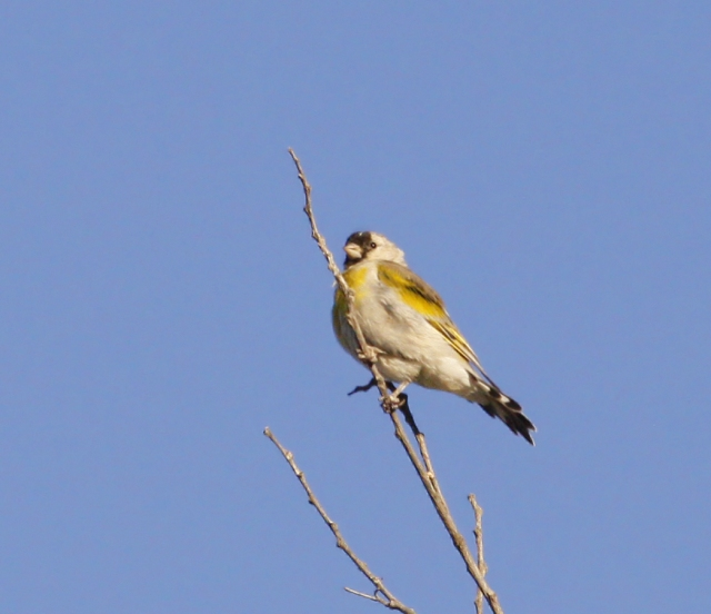 Lawrence's Goldfinch ... This was a bonus species as I had read they were very difficult to find in the Fall.