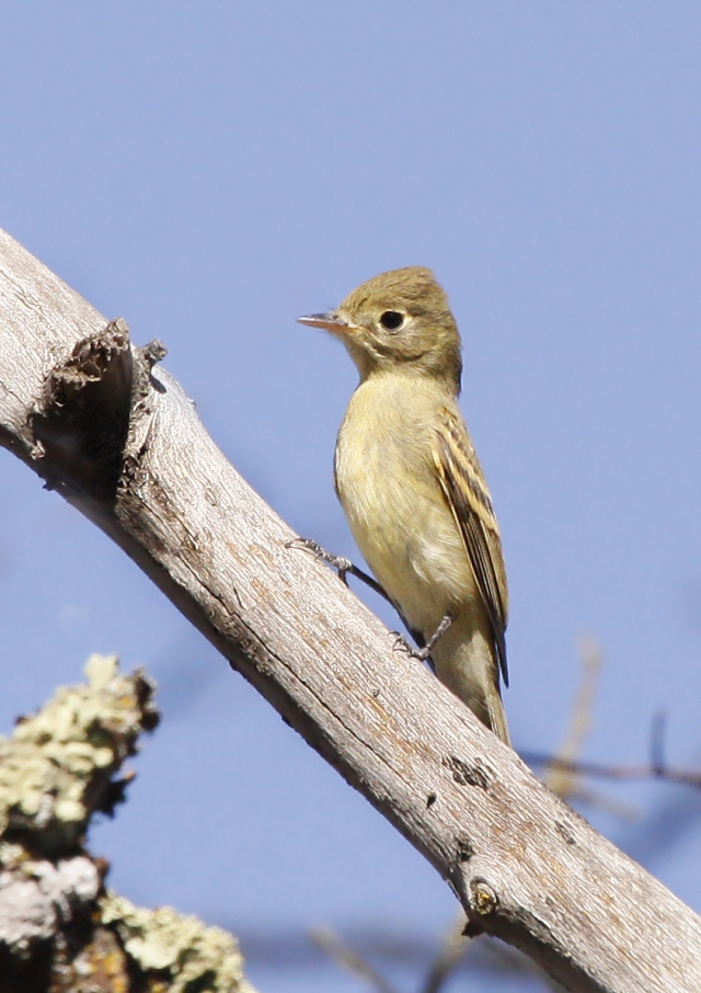Pacific-slope Flycatcher ... My first lifer of the trip!!