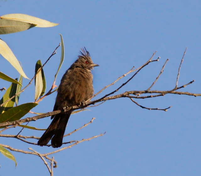 Phainopepla ... The Black Cardinal ... and such a cool name!!