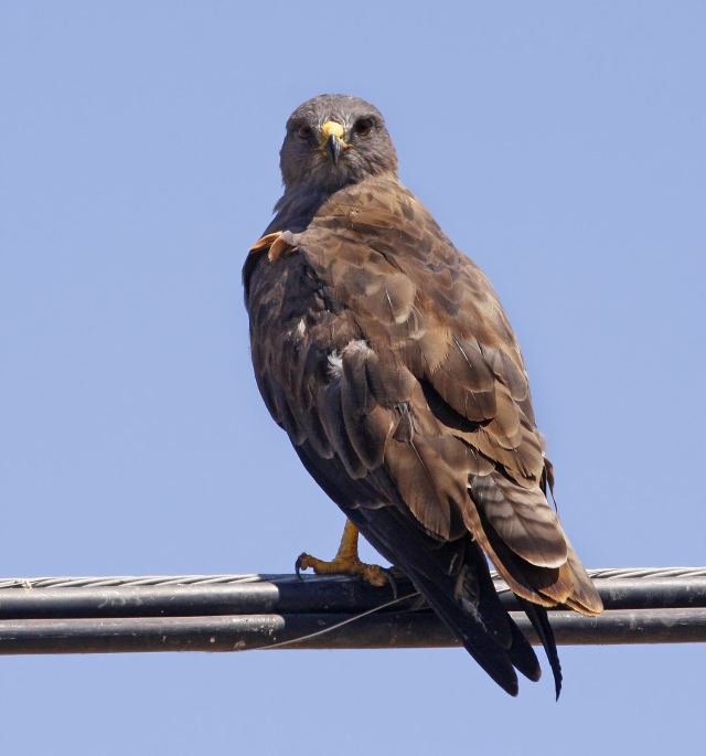 Red-tailed Hawk ... There were litterally dozens of Red-tails as I made my way across the central valley.  This dark morph variety was really neat to see.