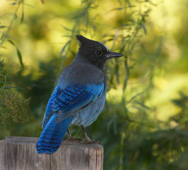 Stellar's Jay ... I was fortunate to see this beauty a couple of more times on my trip ... what a stunning fellow!