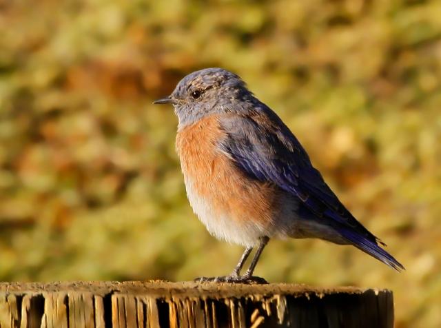 Western Bluebird ... Enjoying the morning sun!