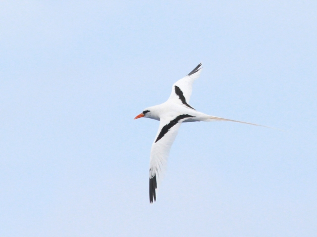 White-tailed Tropicbird ... This guy was the star of the show with one young man traveling all the way from California in hopes of seeing this one species, which by the way was his 799 ABA species ... incredible!!!