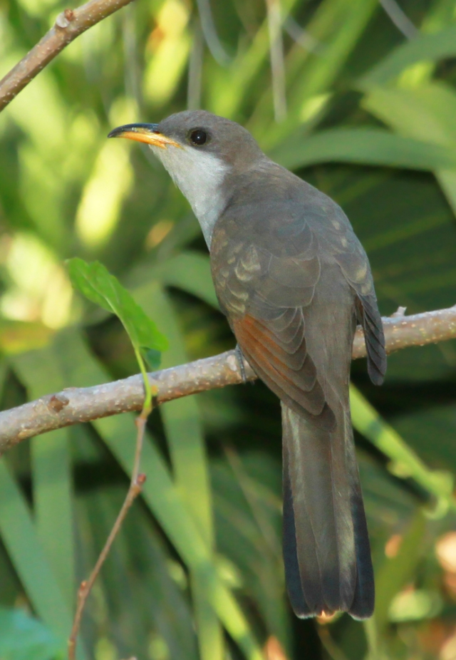 Yellow-billed Cuckoo ... A very nice surprise!
