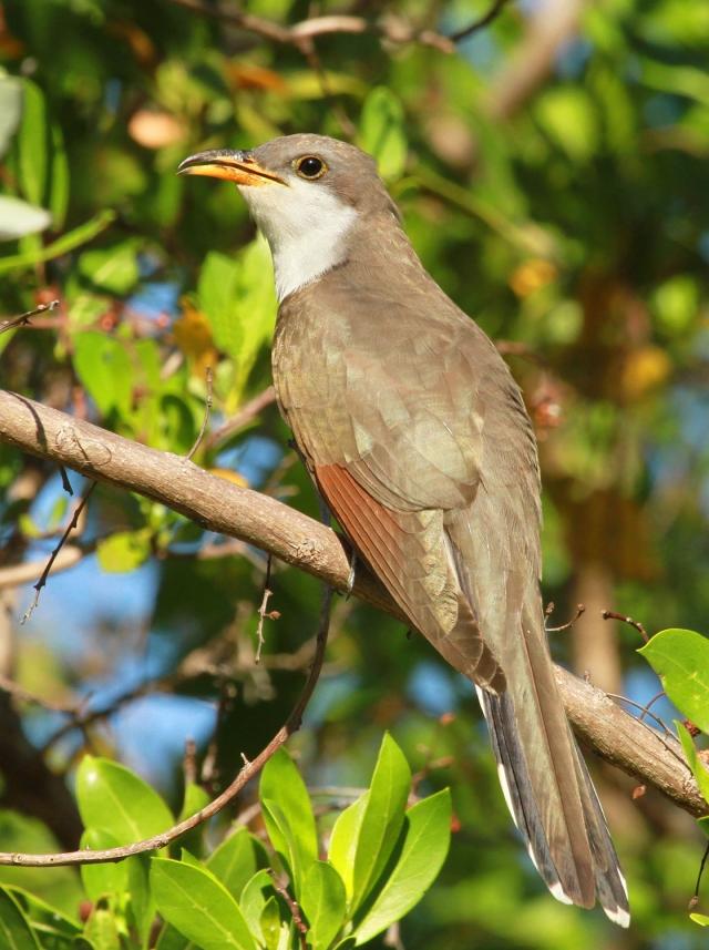 Yellow-billed Cuckoo ... Green Cay Wetlands