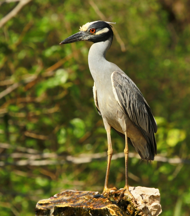 Yellow-crowned Night Heron ... Probably the biggest surprise for me!