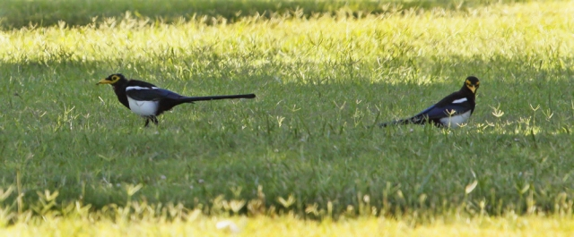 Yellow-billed Magpies ... This was about as close as they would allow me to get as they were very shy and flighty.  The above shot was taken from inside the car when one flew towards me!!
