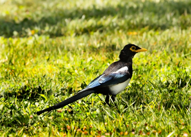Yellow-billed Magpie ... What a fortuitous stop at this small county park!!